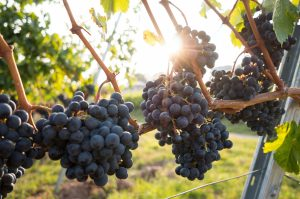Image of grapes on the vine, courtesy of David Kohler on Unsplash.