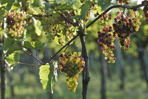 Multicolored grapes on the vine.