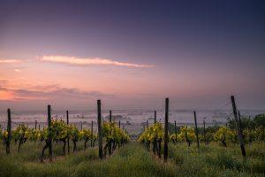 Early morning vineyard courtesy of Karsten Wurth from Unsplash.