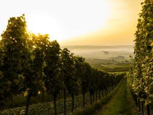 Vineyard image courtesy of Sven Wilhelm from Unsplash.